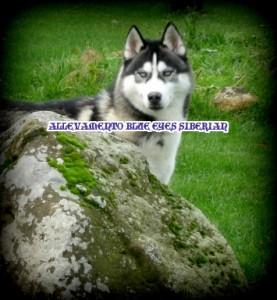 allevamento-siberian-husky-occhi-blu