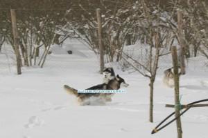 gioco-siberian-husky
