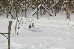 husky-corre-sulla-neve
