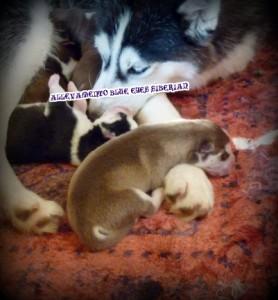 mamma-cuccioli-siberian-husky-casa