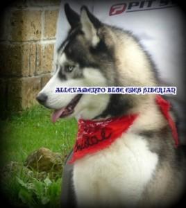 profilo-siberian-husky