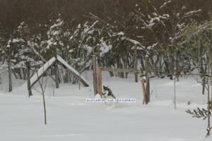 sgambatura-siberian-husky-sulla-neve