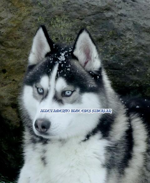 Allevamento amatoriale siberian husky