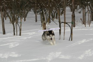 siberian-husky-corre-sulla-neve