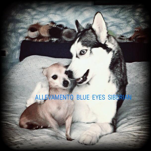 siberian husky con gli altri cani