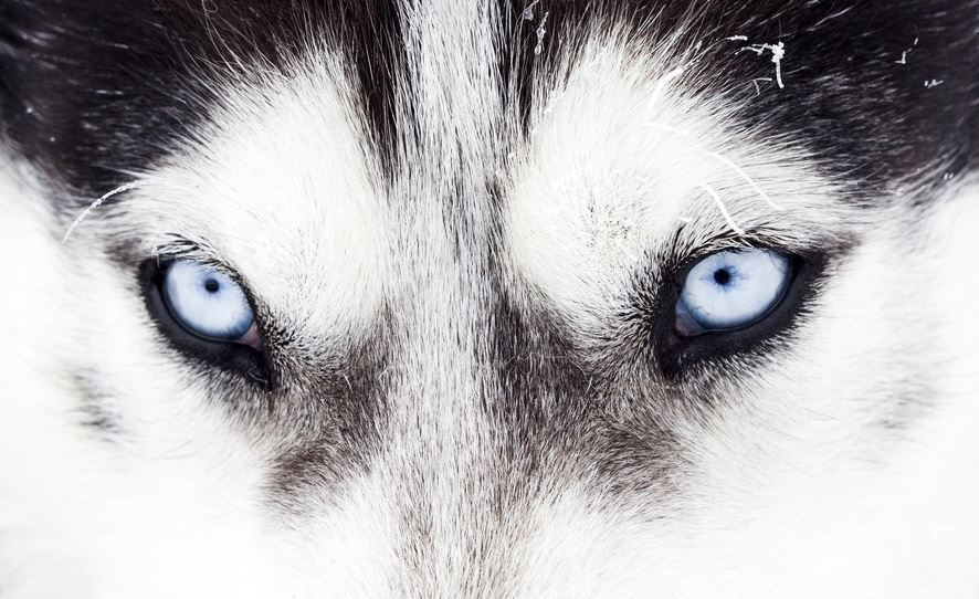 Malattie oculari del Siberian Husky