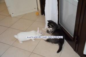 siberian husky e coniglio