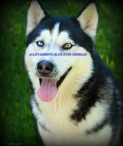 demon-allevamento-blue-eyes-siberian-roma