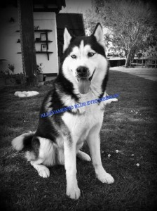 demon-siberian-husky-adulto