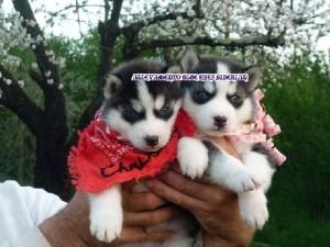 foto-cuccioli-siberian-husky-allevamento-blue-eyes-003