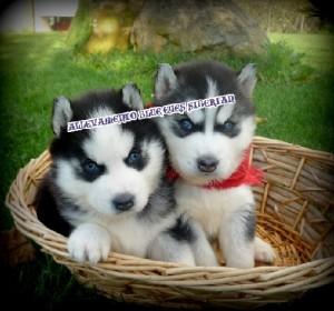 foto-cuccioli-siberian-husky-allevamento-blue-eyes-006