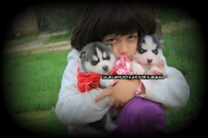 foto-cuccioli-siberian-husky-allevamento-blue-eyes-008