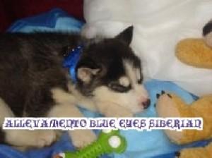 foto-cuccioli-siberian-husky-allevamento-blue-eyes-012