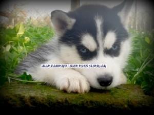 foto-cuccioli-siberian-husky-allevamento-blue-eyes-013