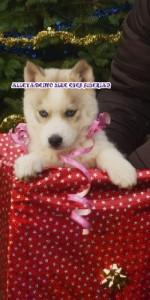 foto-cuccioli-siberian-husky-allevamento-blue-eyes-018