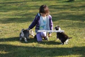 foto-cuccioli-siberian-husky-allevamento-blue-eyes-019