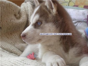 foto-cuccioli-siberian-husky-allevamento-blue-eyes-020