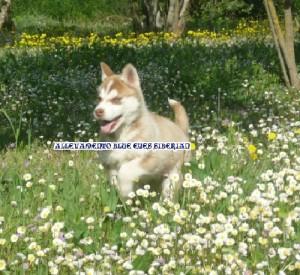 foto-cuccioli-siberian-husky-allevamento-blue-eyes-021