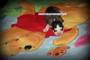 foto-cuccioli-siberian-husky-allevamento-blue-eyes-023