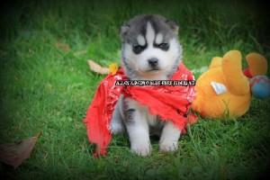 foto-cuccioli-siberian-husky-allevamento-blue-eyes-025