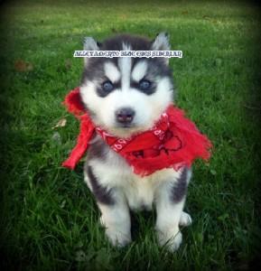 foto-cuccioli-siberian-husky-allevamento-blue-eyes-026