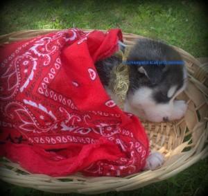 foto-cuccioli-siberian-husky-allevamento-blue-eyes-036