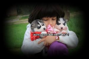 foto-cuccioli-siberian-husky-allevamento-blue-eyes-041