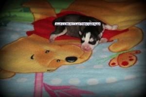 foto-cuccioli-siberian-husky-allevamento-blue-eyes-043