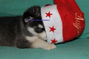 foto-cuccioli-siberian-husky-allevamento-blue-eyes-046