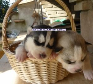 foto-cuccioli-siberian-husky-allevamento-blue-eyes-049