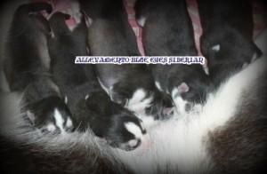 foto-cuccioli-siberian-husky-allevamento-blue-eyes-050