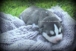 foto-cuccioli-siberian-husky-allevamento-blue-eyes-053