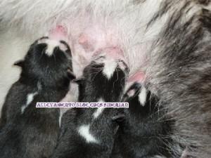 foto-cuccioli-siberian-husky-allevamento-blue-eyes-054