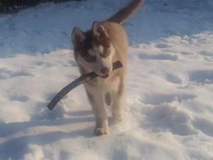 foto-cuccioli-siberian-husky-allevamento-blue-eyes-060