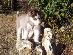 foto-cuccioli-siberian-husky-allevamento-blue-eyes-061