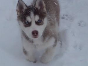 foto-cuccioli-siberian-husky-allevamento-blue-eyes-062