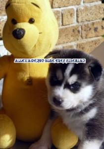 foto-cuccioli-siberian-husky-allevamento-blue-eyes-064