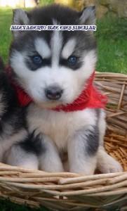 foto-cuccioli-siberian-husky-allevamento-blue-eyes-065