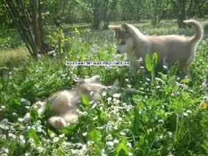 foto-cuccioli-siberian-husky-allevamento-blue-eyes-083