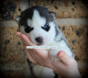 foto-cuccioli-siberian-husky-allevamento-blue-eyes-095