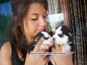 foto-cuccioli-siberian-husky-allevamento-blue-eyes-098