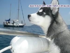 foto-cuccioli-siberian-husky-allevamento-blue-eyes-105