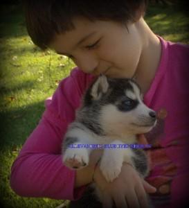foto-cuccioli-siberian-husky-allevamento-blue-eyes-108