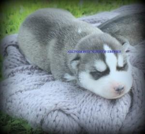 foto-cuccioli-siberian-husky-allevamento-blue-eyes-109