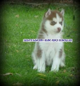 foto-cuccioli-siberian-husky-allevamento-blue-eyes-110