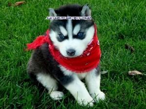 foto-cuccioli-siberian-husky-allevamento-blue-eyes-111