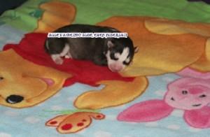 foto-cuccioli-siberian-husky-allevamento-blue-eyes-114