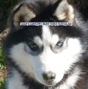 foto-cuccioli-siberian-husky-allevamento-blue-eyes-116