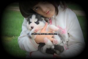 foto-cuccioli-siberian-husky-allevamento-blue-eyes-118