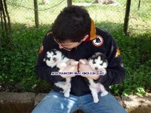 foto-cuccioli-siberian-husky-allevamento-blue-eyes-122